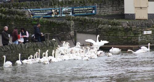 Swan Feeding along the Thames