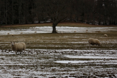 Sheep on the Blair Castle grounds