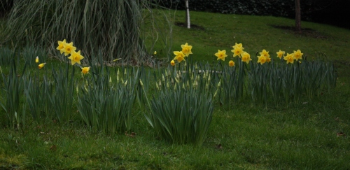Another Hint of Spring ~ Daffodils