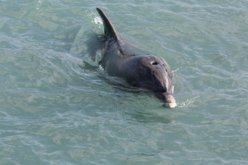 Dolphin in the the Doolin Pier
