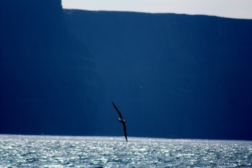 Bird near the Cliffs of Mohr, County Clare, Ireland
