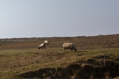 More Sheep in Doolin