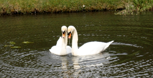 Hever Castle Swans ~ True Love!