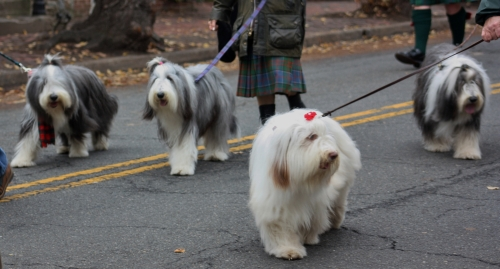 Scottish Parade 4 fluffy dogs