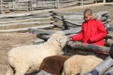 Sheep at Mount Vernon (2)
