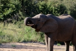 Africa elephant drinking water from riverbed