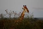 Giraffe over thetrees