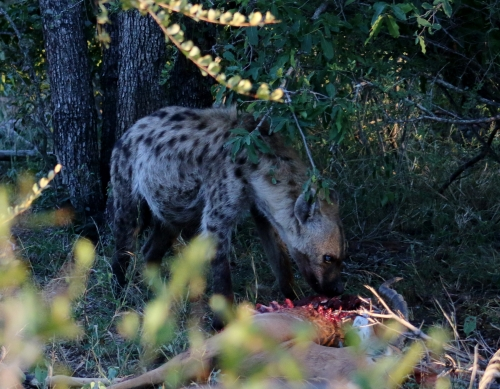 Hyena eating the leopards kill