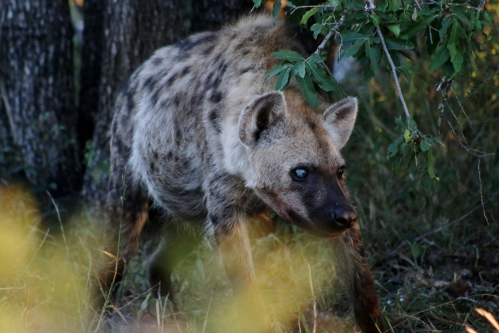 Hyena One Blind Eye II