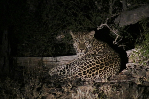 leopard at night ii