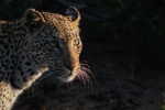 leopard bloody whiskers