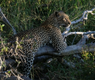 leopard on tree stump iv