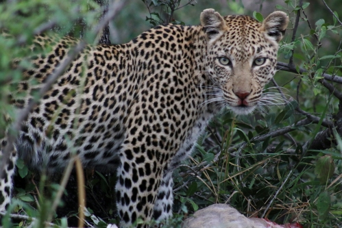 Leopard with bloody nose