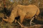 Rhino large male