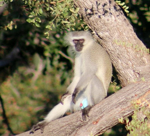 Monkey with blue balls
