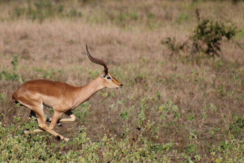 Steenbok running